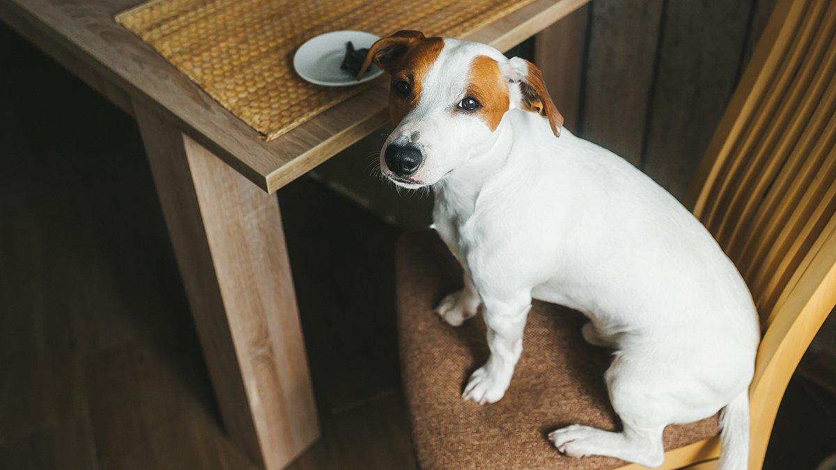 Собака за столом