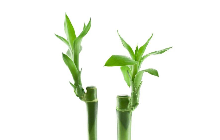 Фото продукта бамбук