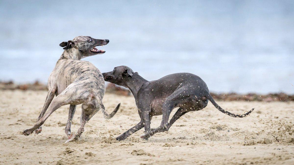 Grayhound
