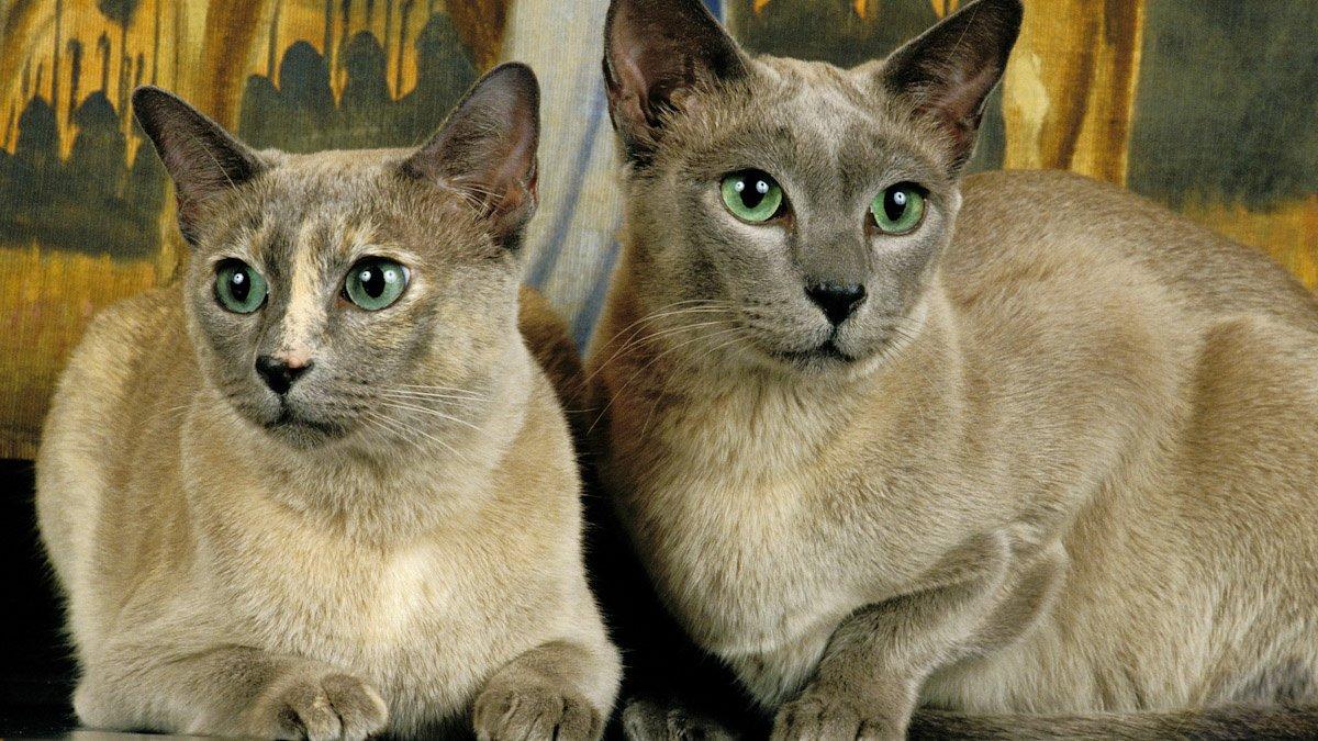 Тонскийская кошка
